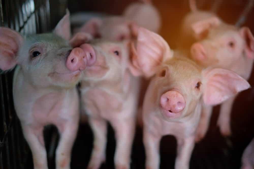 betafin inclusion piglets