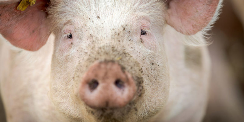 Sow Lameness In The South African Pig Industry